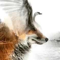fox vs swan