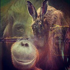 hare vs orangutang
