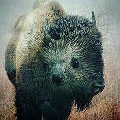 hedgehog vs buffalo